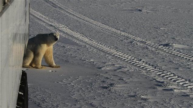 Un ours près d'un Tundra Buggy à Churchill dans le nord de la province du Manitoba.