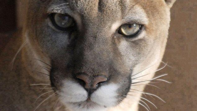 Un cougar photographié dans un zoo