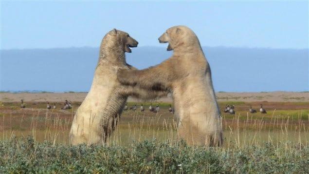 Des ours polaires se battent