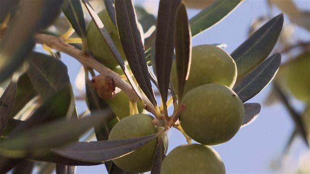 La série documentaire La route des oliviers est inspirée des récits de voyages de Carol Drinkwater.
