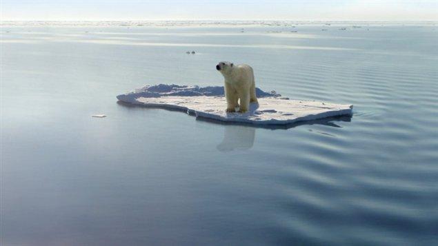 les changements climatiques menacent à long terme les populations d'ours blancs.