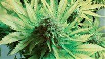 Les Canadiens ont désormais le droit de cultiver leur propre marijuana médicinale