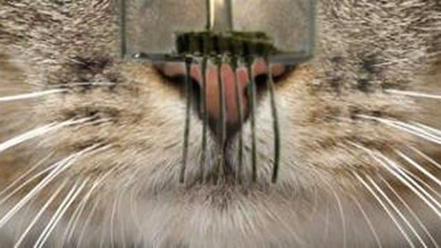 Un chat sent les moustaches électroniques.