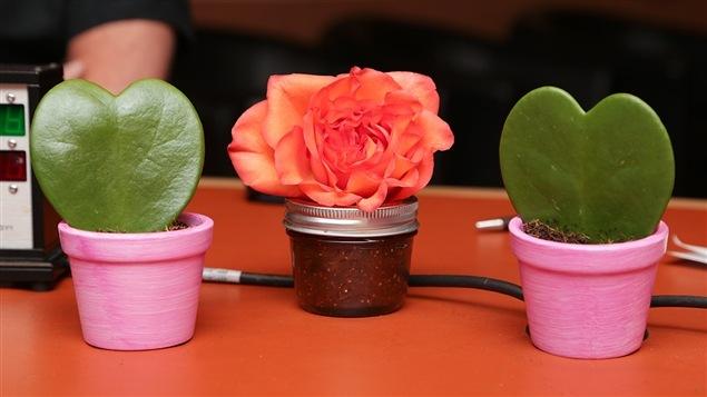 Une rose orange entourée de deux hoyas en forme de coeur.
