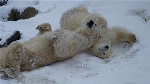 Les ours polaires du Zoo sauvage de Saint-Félicien