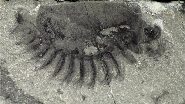 Une cinquantaine d'espèces ont été découvertes dans un gisement fossilifère dans le parc Kootenay en Colombie-Britannique.  Photo :  Robert Gaines/Collège Pomona