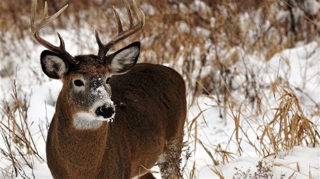 Le cerf de Virginie se trouve parmi les espèces qui pourront être servies dès l'automne prochain.