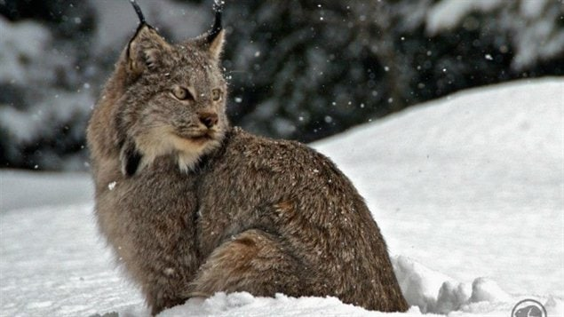 Big Cats Northern Ontario