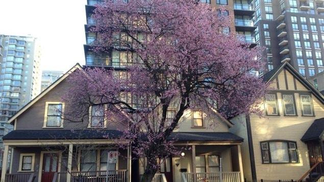 Un arbre en fleur bourgeonne à Vancouver le jeudi 20 mars 2014.
