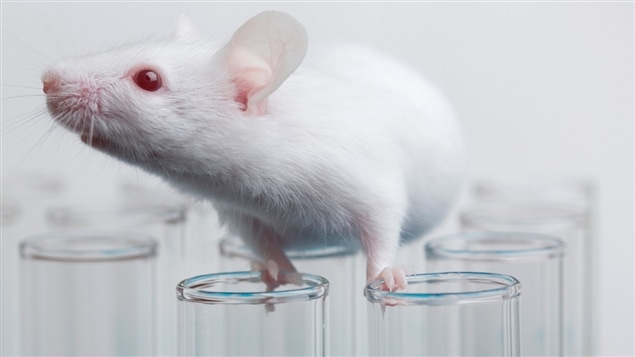 Une souris de laboratoire