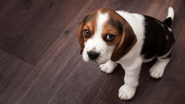 Un beagle chiot