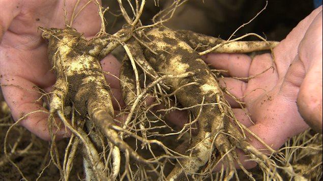 Apparue comme une solution attrayante aux difficultés des anciens cultivateurs de tabac de l'Ontario, la culture du ginseng a ses propres complications.