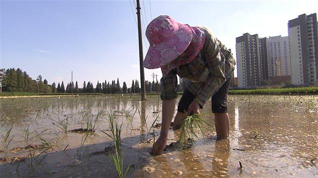 La rapide industrialisation de la Chine s'est faite au prix de la dispersion de polluants susceptibles d'être absorbés par le riz.