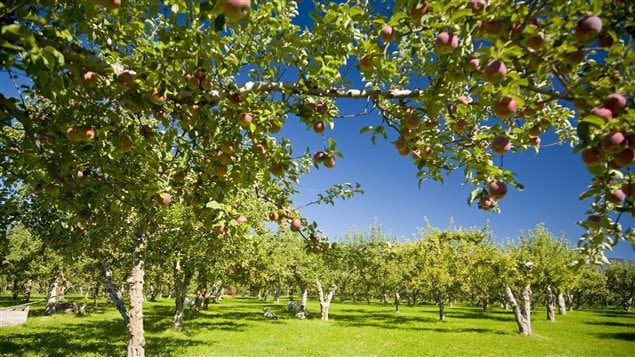 tailler nos arbres fruitiers m dium large ici radio canada premi re. Black Bedroom Furniture Sets. Home Design Ideas