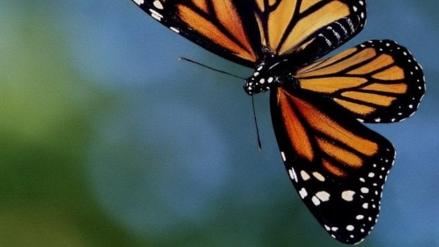 Le papillon monarque pèse un demi-gramme et il peut atteindre avec ses ailes entièrement déployées une taille de 12 centimètres. Ce migrateur est célèbre à travers toute l'Amérique, car il voyage chaque année du Mexique au Canada.