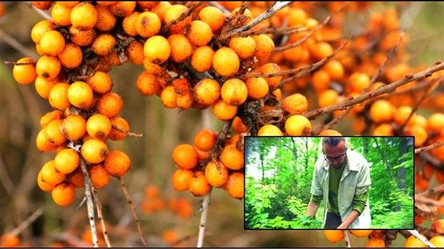 Alexandre Beaudoin et ses collègues biologistes de l'Université de Montréal essaient de recréer une forêt nourricière sur le mont Royal avec des plantes indigènes comme l'argousier.
