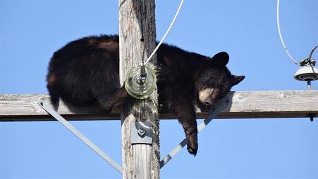 Un ours noir a fait la sieste en haut d'un poteau électrique près de Shelbrook, à 150 km au nord de Saskatoon.