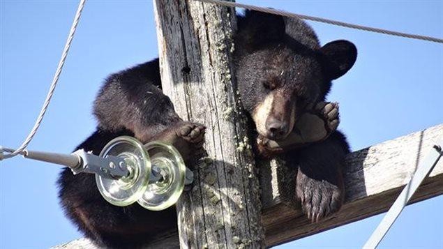Les lignes électriques étaient tout près de l'ours surpris en pleine sieste.