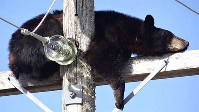 Chauffé par le soleil, un ours noir a réussi à se détendre assez pour filer au pays des rêves, juché en haut d'un poteau électrique à Shellbrook.