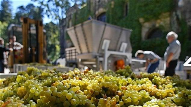 Des grappes de chardonnay du Chateau Montelena en Californie.