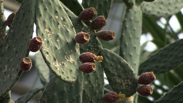 Le cactus: du piquant dans votre assiette