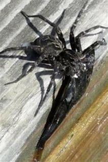 Araignée sur un quai à Shoe Lake, en Ontario