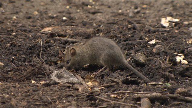 Un rat de ville