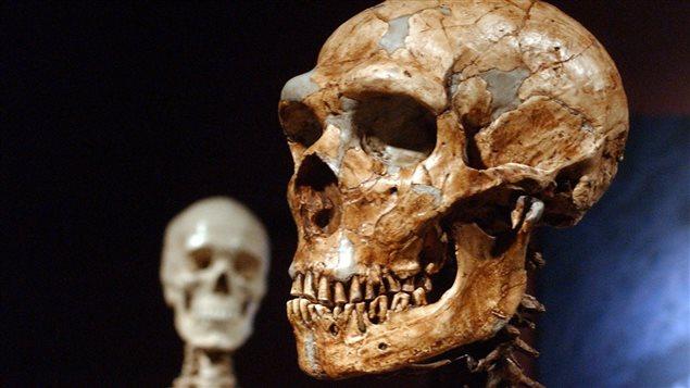 Reconstruction d'un cran d'un homme de Neandertal au Musée d'histoire naturelle de New York