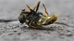 Les pesticides menacent la survie des abeilles.