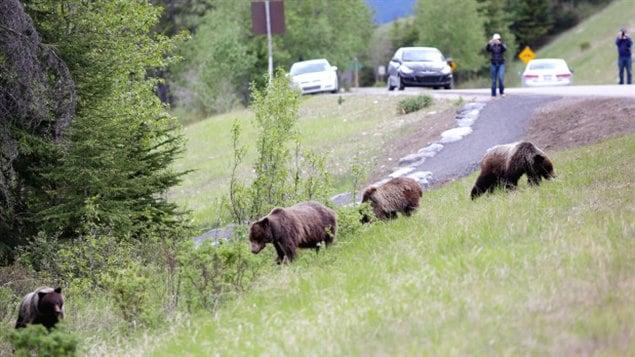 Aggressive Bears Prompt Warnings Force Closures Near Banff