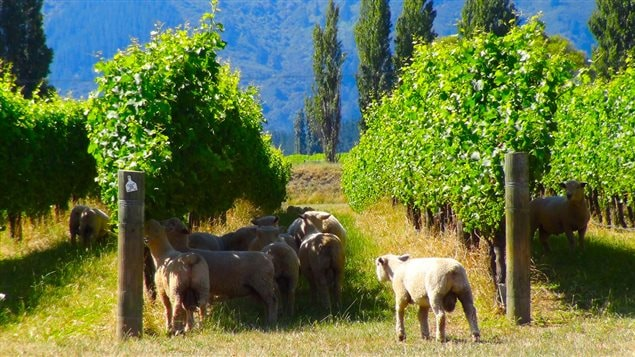 La magie des vins du Marlborough en  Nouvelle-Z�lande
