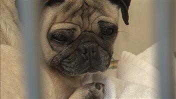 Un chien qui attendait d'être adopté à la SPCA de Montréal, le samedi 12 juillet 2014.