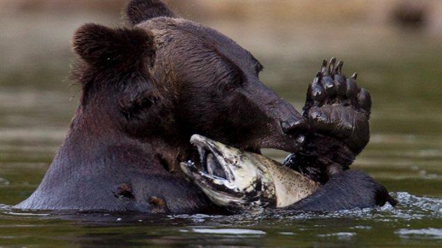 Un grizzli dévorant un saumon dans la rivière Atnarko dans le parc provincial de Tweedsmuir près de Bella Coola.