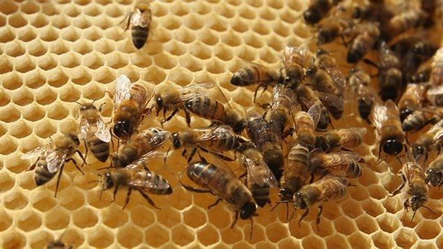 Des abeilles saines