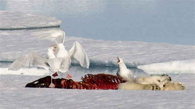 Sea birds fight over the remains of a dead polar bear on a ice flow in the Canadian Arctic in 2008. The Inuit and Greenpeace are warning that seismic testing for oil and gas is grave danger to the environment. The photo shows a polar bear lying on the ice. We see his face and front paws covered in white fur but the rest of his body has been eaten away. We see his ribs stripped bare and covered in dried blood. Two of the white sea birds are situated toward the rear of the bear's body. Their wings are spread. Toward the front of the bear's body is another bird. He is sitting just below the bear's neck. The bird's mouth is open as if yawning or crowing. In the background are white ice and blue-tinted water.