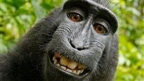 Litige autour d'un égoportrait de macaque