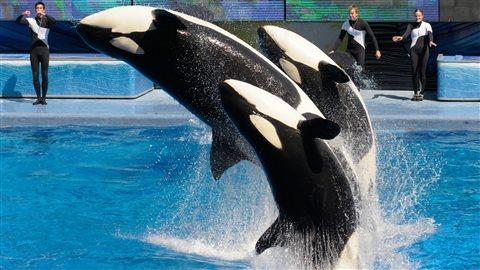 Des orques au parc SeaWorld d'Orlando, en Floride, en 2011
