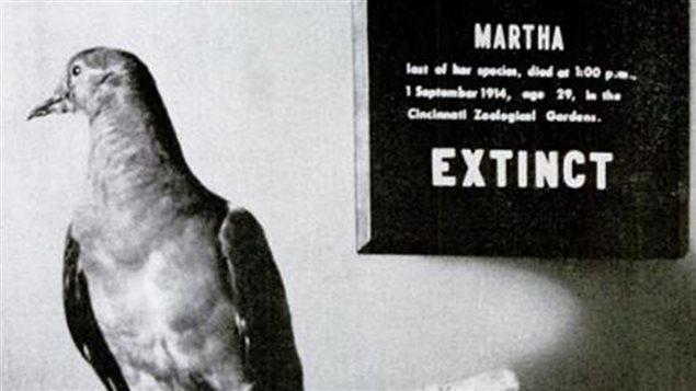 Martha, l'ultime tourte voyageuse