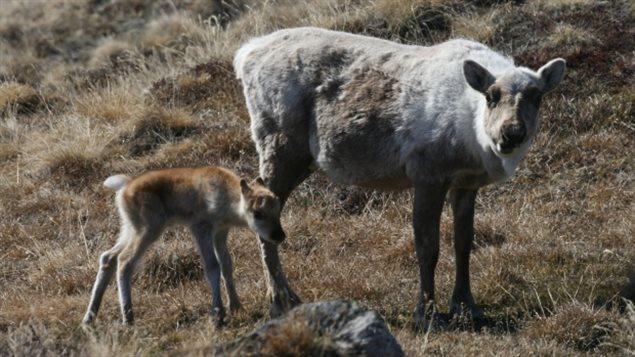 Une femelle caribou et son veau