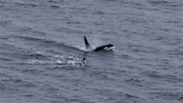 Rare sight killer whales in hudson bay for Hudson bay fishing