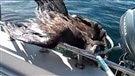 Un pêcheur ramène en bateau un aigle épuisé