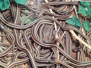 Des serpents Thamnophis.