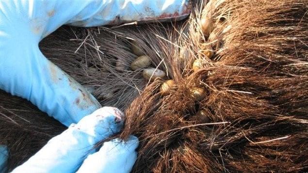 Des tiques dans la fourrure d'un orignal. les trois quarts des orignaux échantillonnés au sud du 50e parallèle sont porteurs de tiques. Au sud du Saint-Laurent, ce pourcentage grimpe à 93 %!