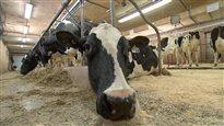Lits d'eau pour vaches laitières