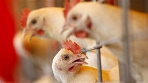 Les antibiotiques dans le poulet de la restauration rapide