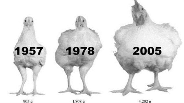 Les chercheurs ont analysé la croissance de 540 poulets de trois souches différentes : deux souches de 1957 et de 1978 qui proviennent du Contrôle des viandes de l'Université de l'Alberta et une souche commerciale de 2005.