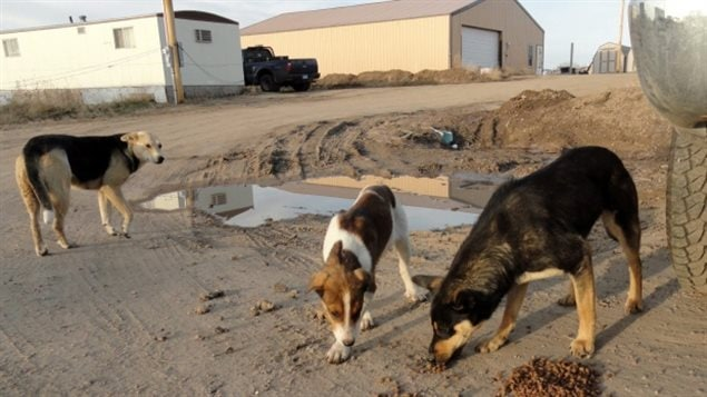 struggle to control dangerous stray dogs across northern