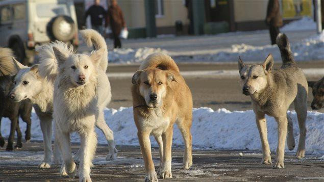 Des défis de taille pour le contrôle des populations de chiens errants dans le Nord