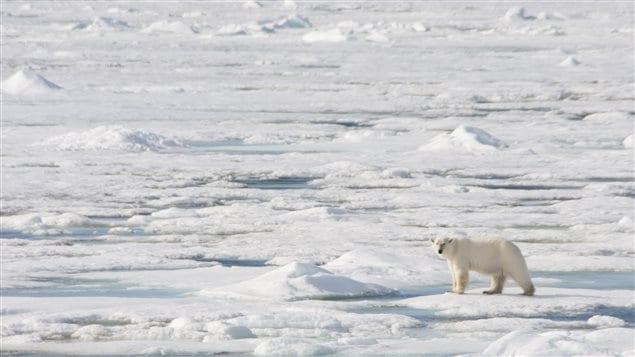Un ours polaire en Arctique