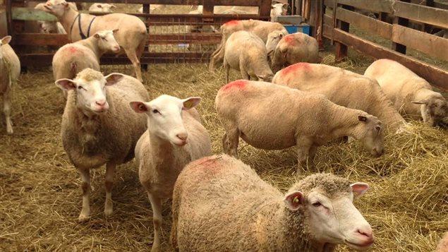 Les agneaux de la Ferme Éboulmontaise, (IGP) Agneau de Charlevoix, appellation réservée relative au lien avec un terroir l'Indication géographique protégée